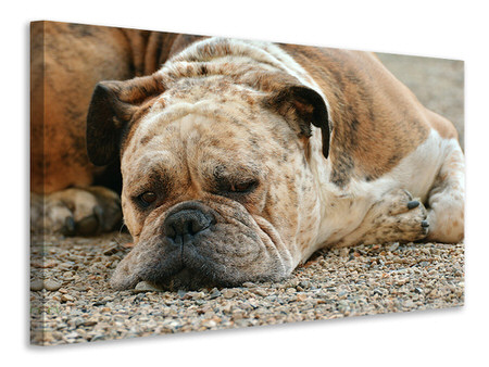 Canvas print Tired boxer